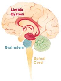Gehirn Unterbewusstsein limbisches System